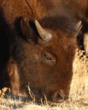 Unga Bison Feeding arkivbilder