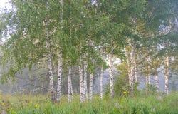 Unga björkträd i morgonen Fotografering för Bildbyråer