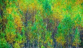Unga björkträd i nedgång royaltyfri fotografi