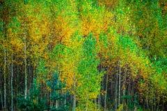 Unga björkträd i nedgång arkivbild