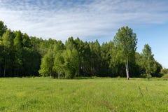 Unga björkträd på en äng på kanten av den soliga morgonen för skogfrikänd Arkivbild