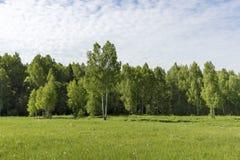 Unga björkträd på en äng på kanten av den soliga morgonen för skogfrikänd Fotografering för Bildbyråer