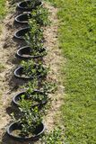Unga blåbärbuskar på organisk koloni Fruktträdgård i sommar arkivfoton