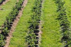 Unga blåbärbuskar på organisk koloni Fruktträdgård i sommar royaltyfria foton
