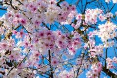 Unga blommaknoppar i vår i rosa färger, guling och vit i vår Arkivfoto