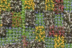 Unga blomningplantor med färgrika blommor i krukor för blomsterrabatter av staden, naturliga blom- modeller härligt Fotografering för Bildbyråer
