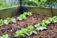 Unga bondbönaväxter Royaltyfria Bilder