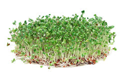 Unga broccoligroddar Royaltyfri Foto