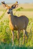 Unga Buck Deer In Velvet Royaltyfria Bilder