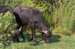 Unga bufflar som betar i en äng Royaltyfria Foton