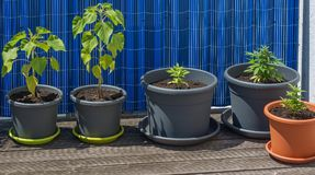 Unga cannabis- och solrosväxter i blomkrukor Royaltyfri Fotografi