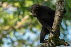 Unga Celebes krönade macaqueMacacanigraen i den Tangkoko nationalparken, Sulawesi, Indonesien Royaltyfri Foto