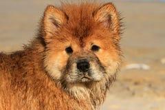 Unga Chow Chow Dog Portrait Royaltyfri Fotografi