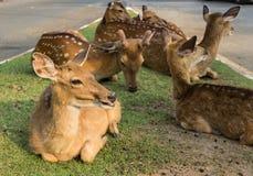 Unga deers Arkivbilder