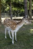 Unga deers i ett fält Royaltyfri Bild