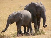 Unga elefanter Royaltyfria Foton
