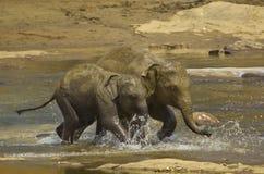 unga elefanter Arkivfoto