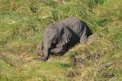 unga elefanter Arkivbild