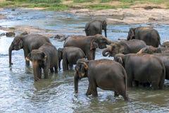 Unga elefanter från det Pinnawela elefantbarnhemmet & x28en; Pinnewala& x29; bad i Maha Oya River i centrala Sri Lanka Royaltyfri Foto