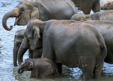 Unga elefanter från det Pinnawela elefantbarnhemmet & x28en; Pinnewala& x29; bad i Maha Oya River i centrala Sri Lanka Royaltyfri Bild