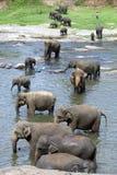 Unga elefanter från det Pinnewala elefantbarnhemmet & x28en; Pinnawela& x29; koppla av i Maha Oya River Royaltyfri Bild