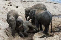 Unga elefanter från det Pinnewala elefantbarnhemmet & x28en; Pinnawela& x29; koppla av på banken av Maha Oya River Royaltyfri Foto