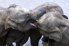 Unga elefanter från det Pinnewala elefantbarnhemmet & x28en; Pinnawela& x29; koppla av på banken av Maha Oya River Royaltyfria Foton