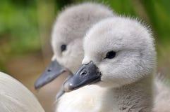 Unga fågelungar för stum svan royaltyfri bild