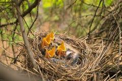 Unga fåglar i redet i ett träd Arkivbilder