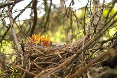 Unga fåglar i redet i ett träd Royaltyfria Bilder