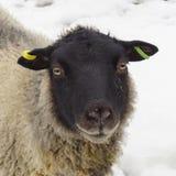Unga får/Lamb på en vinterdag Royaltyfria Foton