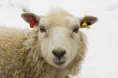 Unga får/Lamb på en vinterdag Arkivfoton