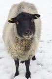 Unga får/Lamb på en vinterdag Arkivbild