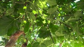 Unga fikontr?d p? tr?det Omogen frukt på filialerna av ett träd bland sidorna arkivfilmer