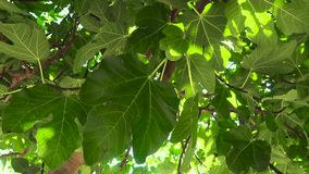 Unga fikontr?d p? tr?det Omogen frukt på filialerna av ett träd bland sidorna stock video