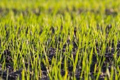 Unga forar av korn i fältet Arkivfoto