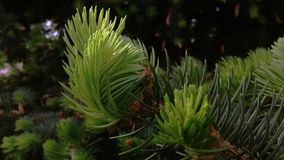 Unga forsar åt i strålarna av vårsolen Grönt träd för barrträds- för evigt arkivbild
