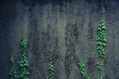 Unga forsar av murgrönaklättringen på en vägg Arkivfoto