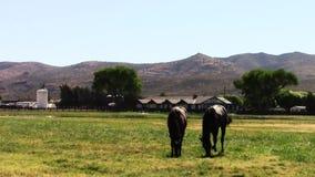 Unga fullblods- lopphästar som äter gräs stock video