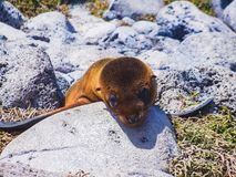 Unga galapagos sjölejongalapagos öar Ecuador royaltyfri fotografi