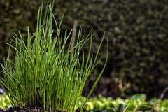 Unga gräslökar som växer i grönsakträdgård Royaltyfri Fotografi