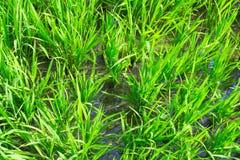 Unga gräsplaner av rice bevattnar in Arkivfoto