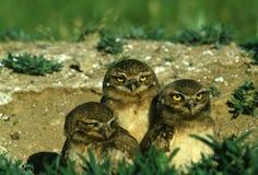 unga gräva owls Arkivbild