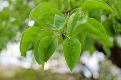 Unga gröna sidor av ett päronträd av jorden och gräset på våren royaltyfri foto