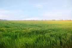Unga gröna veteplantor som växer i ett fält Jordbruk lantbruk Odling av vete och kornskördar Selektiv mjuk fokus arkivfoto