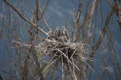 Unga Grey Heron & x28; Ardeacinerea& x29; Arkivfoto