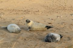 Unga Grey Seal Pups royaltyfria foton