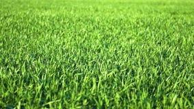 Unga groddar är på fältet selektiv green för closeupfokusgräs stock video