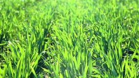 Unga groddar är på fältet selektiv green för closeupfokusgräs arkivfilmer