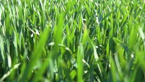 Unga groddar är på fältet selektiv green för closeupfokusgräs lager videofilmer